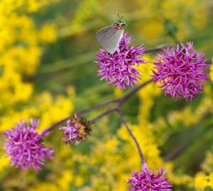 This pretty gray hairstreak seems to like this combo of stemless ironweed and Small's goldenrod. Photo by Debbie Roos.
