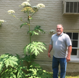 Image of Giant Hogweed