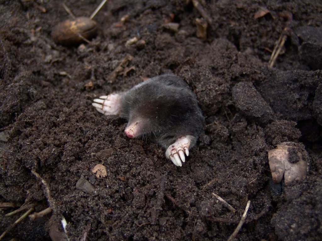 Image of a mole