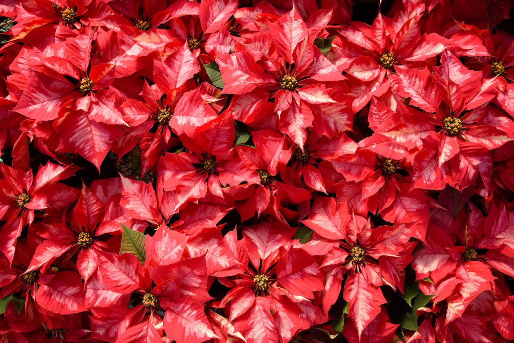 Image of poinsettias