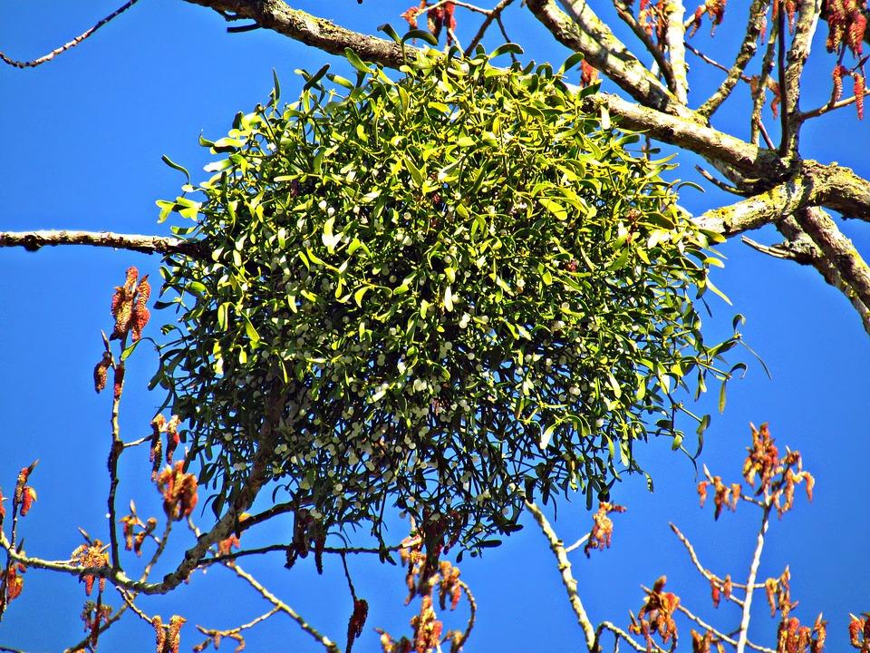 Mistletoe in tree