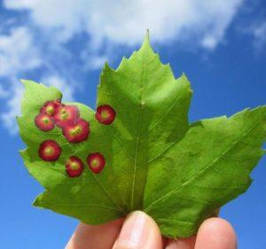 eyespot galls on red maple leaves