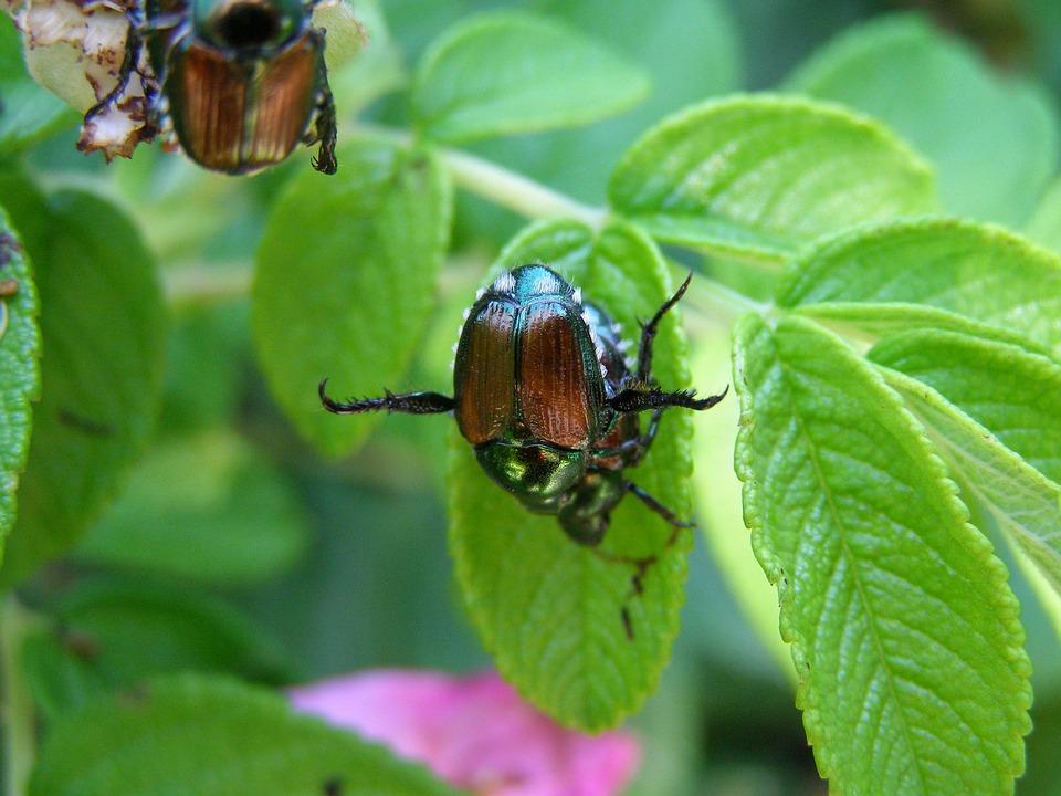 Japanese Beetles on leaves