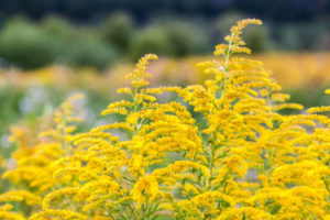 field of goldenrod upclose