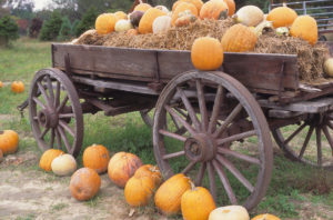 Pumpkins piled in a wooden wagon