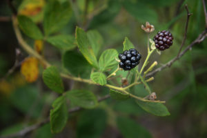 Black berries on a bush