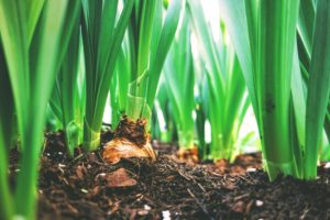 Bulbs sprouting in soil