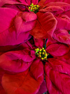 Cover photo for How to Care for your Poinsettia