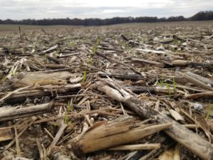 Wheat sprouting up in field with corn husks