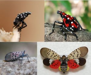 Photos of Spotted Lanternfly
