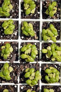 basil seedlings