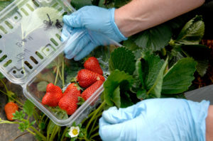 Strawberries being picked and put into containers with glove-covered hands
