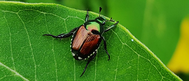 Japanese Beetle on leaf