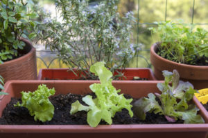 Lettuce planted in container