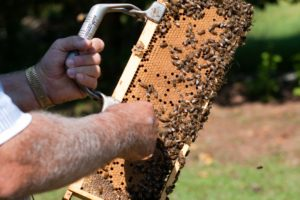 Beekeeper pulling comb with bees from hive