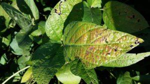 close up image of cercospora leaf blight on soybean leaf