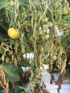 Field grown tomato plant affected by southern blight