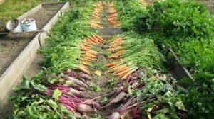 Fall Vegetable Garden Carrots & Beets