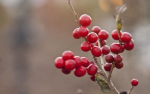 Cover photo for Native Plant Spotlight - Winterberry Holly