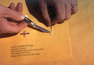 Person Cutting Stem of Wheat with a small knife