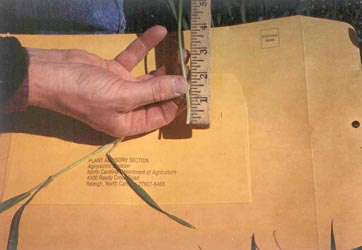 Wheat Stem In Person's Hand Being Measured By a Ruler