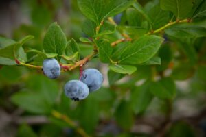 3 blueberries on a branch