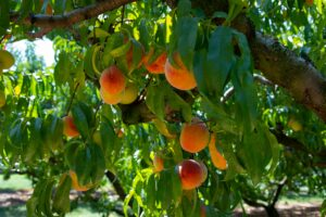 Orange and Yellow Peaches with Green Leaves hanging from a Peach tree