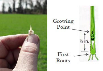 Person holding white growing point of wheat between his thumb and index finger
