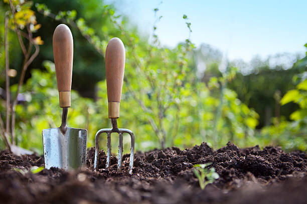 Wooden handled stainless steel garden hand trowel and hand fork tools standing in a vegetable garden border with green foliage behind with a blue sky.