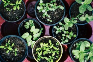 green sprouting plants in small round containers