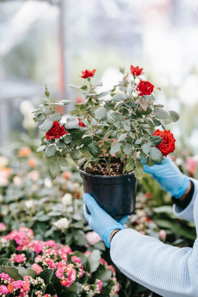 Small Rose Bush in Black Containter