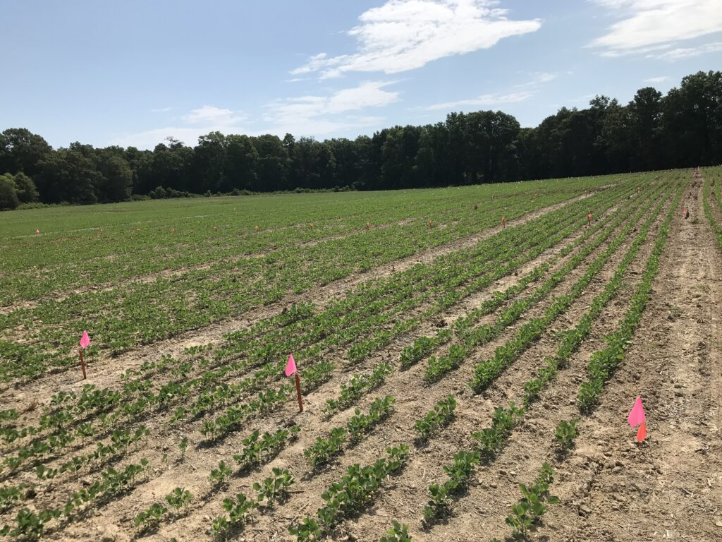 Picture of soybean research trials in Union County