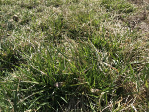 Grass in Pasture