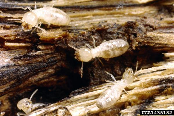 Subterranean termite workers.