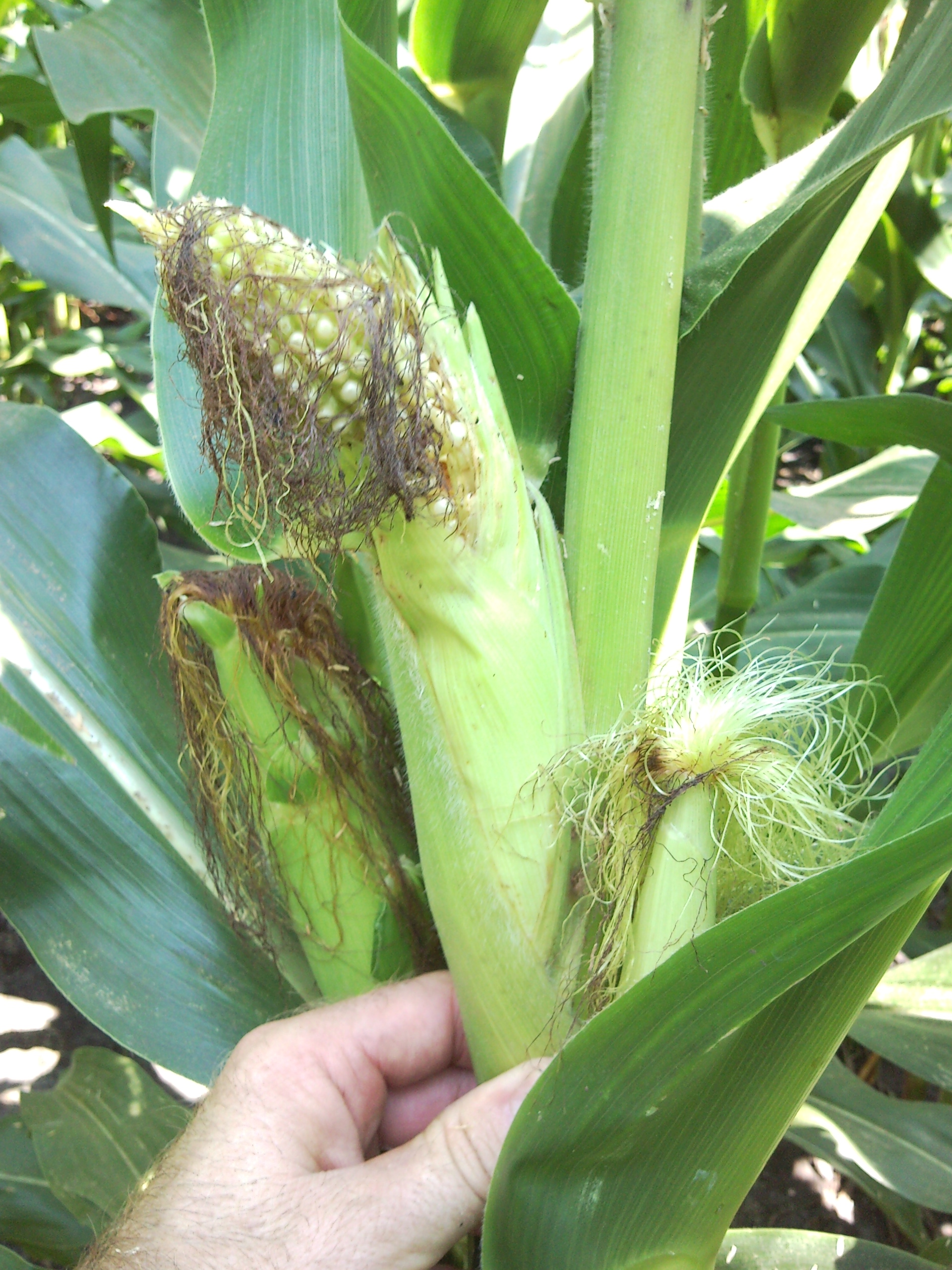 Injury caused by stink bugs feeding on stalks before the ear emerged (prior to tasseling)