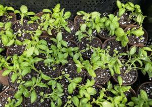 Basil Seedlings used for Union County Family Garden Kit