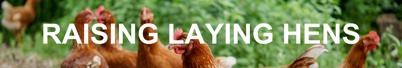 Raising Laying Hens Series