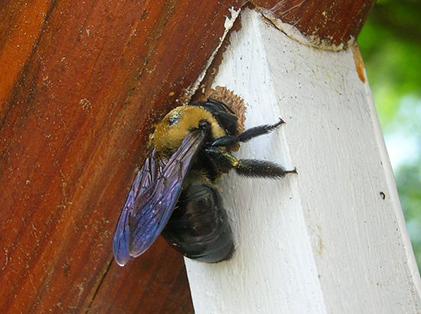 carpenter-bee-drilling