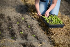 Gardening close-up_Planting seedlings