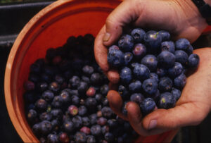 Blueberries (in a bucket)