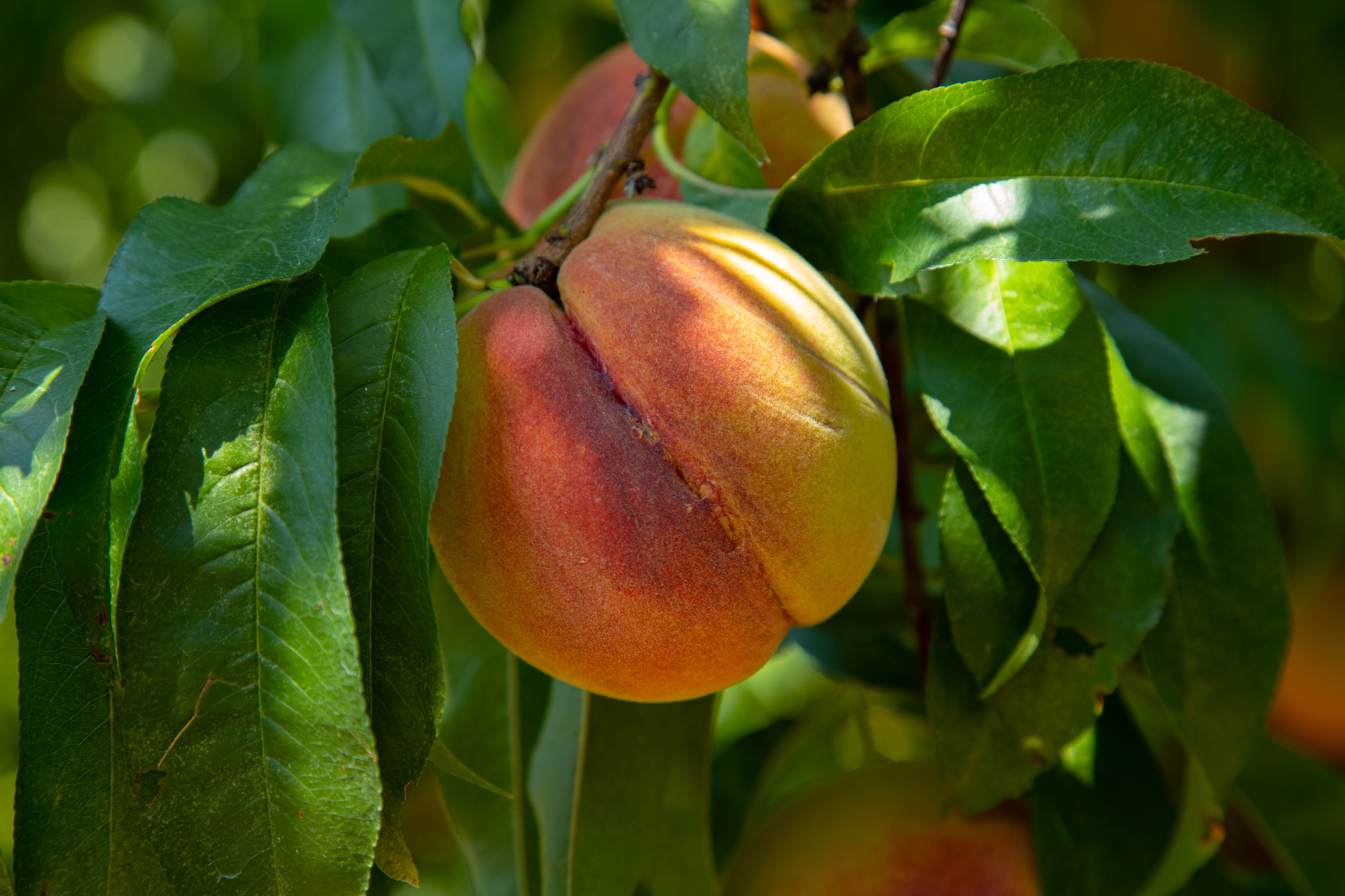 Orange and Yellow Peach hanging from Tree with green leaves surrounding it