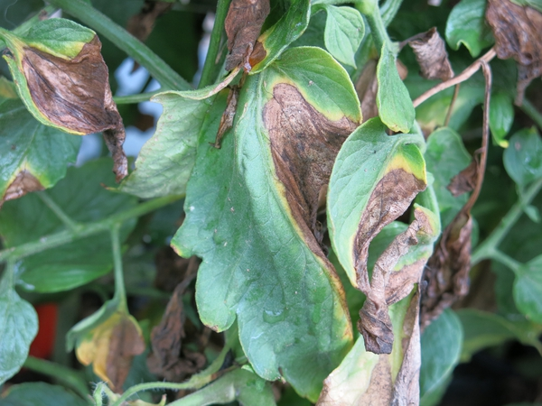 Green and Brown Leaves wilting