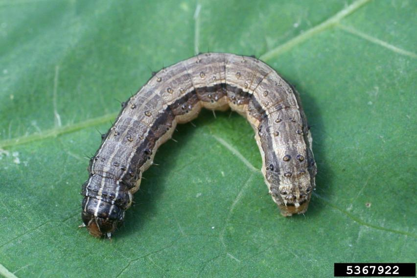 Brown Army Worm